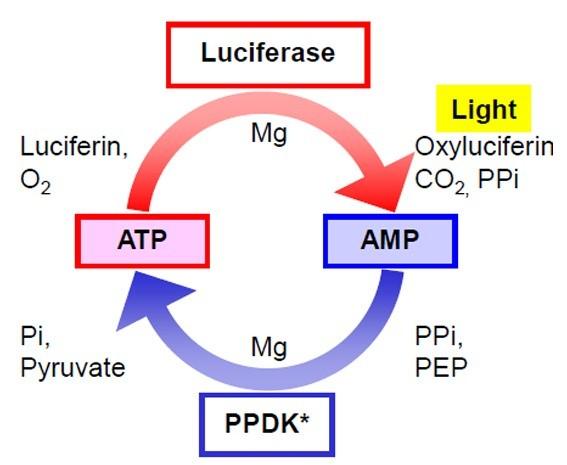 ATP-AMP-Hyserve