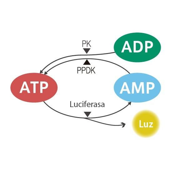 ciclo-ATP-kikkoman